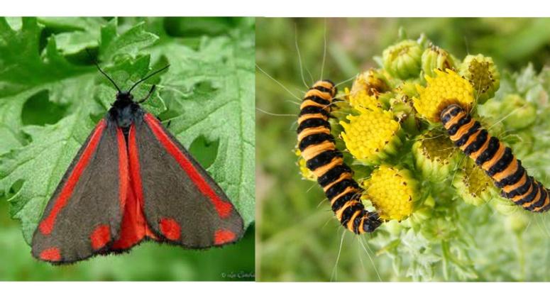 Cinnebar moth